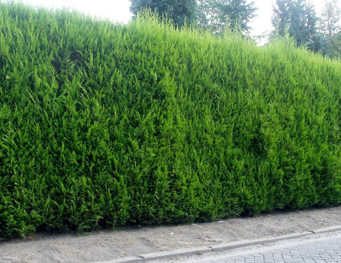 Leyland ciprus - az élő kerítés
