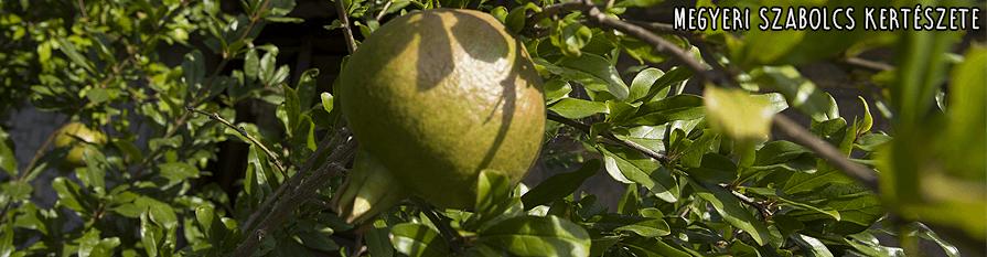 Gránátalma csemete vásárolható a Megyeri kertészetben!