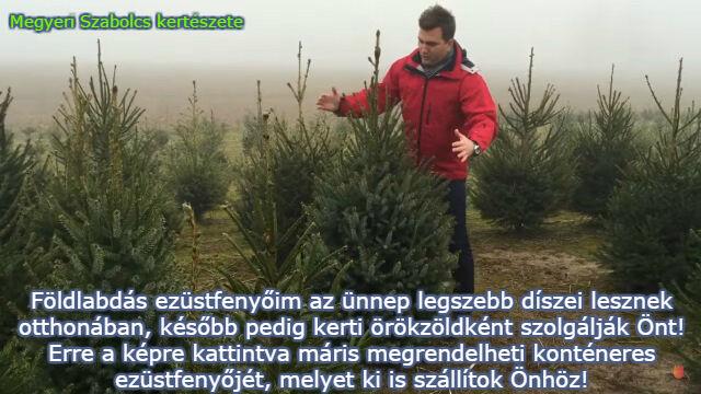 Élő, dézsás karácsonyfa rendelés a Megyeri kertészetből!